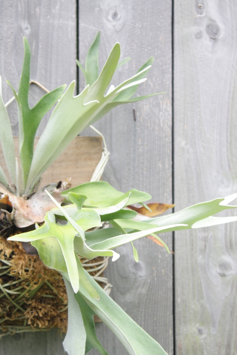 How to Mounted Staghorn Fern