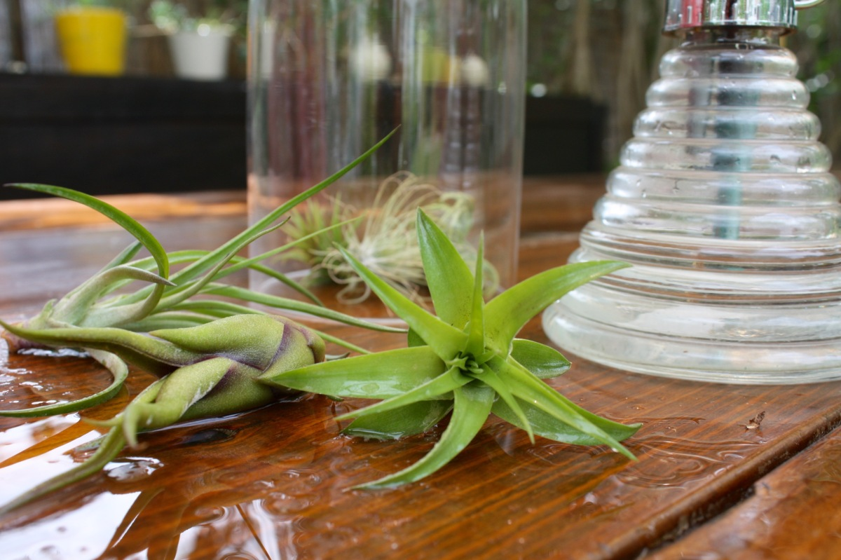 How to Water an Air Plant