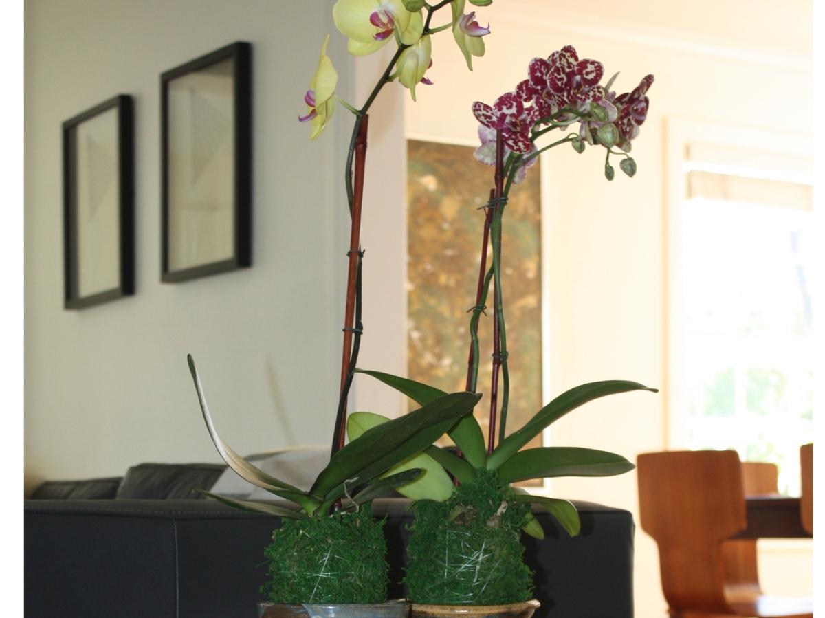 DIY - Kokedama Orchids